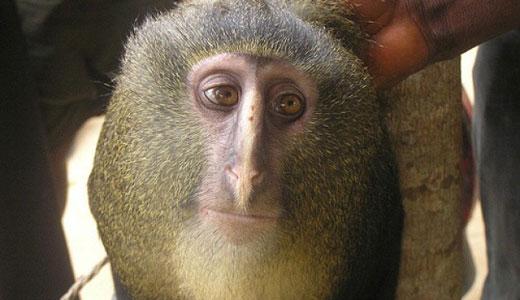 Ecco la scimmia dal «volto umano»