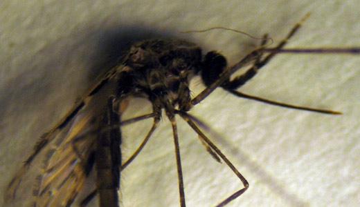 zanzara killer