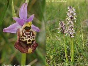 orchidea murgiana