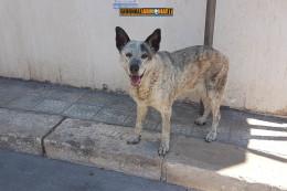 Salvato cane incastrato sotto un tombino in via Roma a San Giorgio Ionico